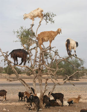 Goats and Lions Tree Photo