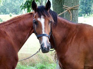 Illusion of Two Horses and One Head