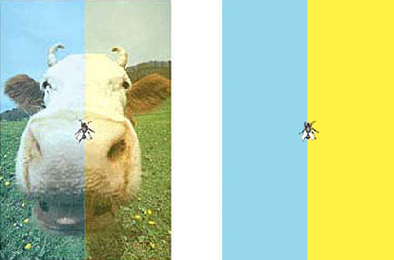 colored cow optical illusion