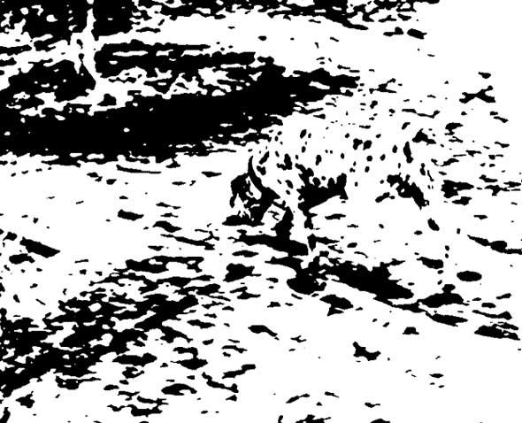 Mysterious Dalmatian Optical Illusion