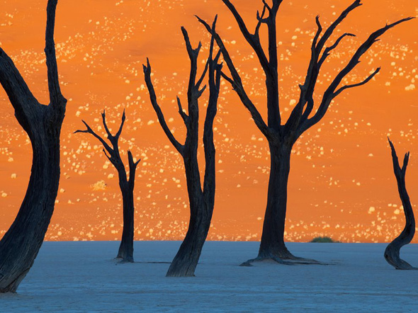 Camel Thorn Trees in Namibia