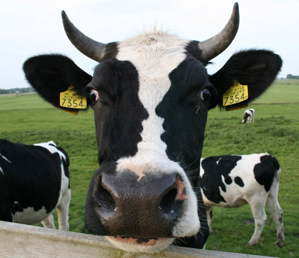 cow optical illusion
