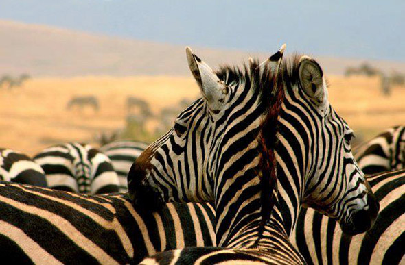 Two Headed Zebra Again!