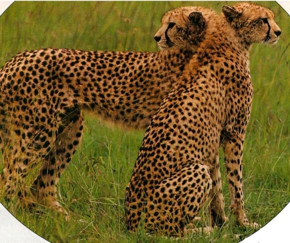 leopard optical illusion
