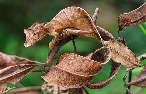 Camouflaged Chameleon Optical Illusion