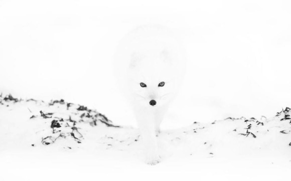 Hidden Wolf in the Snow Optical Illusion