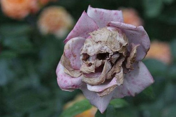 Dead Flower Optical Illusion