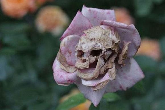 Dead Flower Optical Illusion