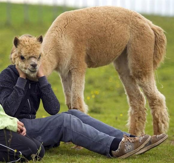 Funny Llama Optical Illusion
