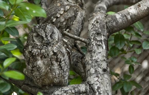 Owl Optical Illusion