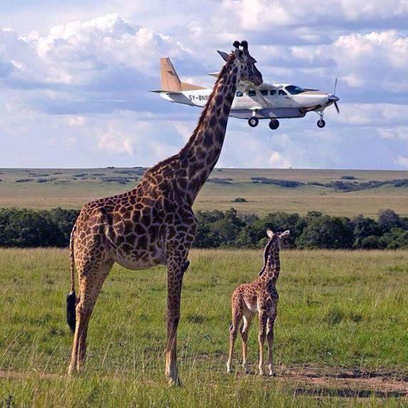 Giraffe and the Plane Optical Illusion