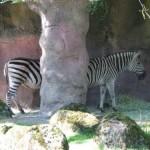 The Extra long Zebra Optical Illusion