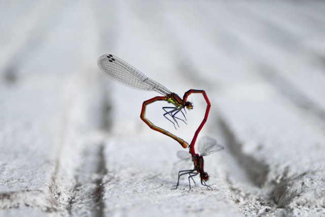 Insects Have Heart Optical Illusion