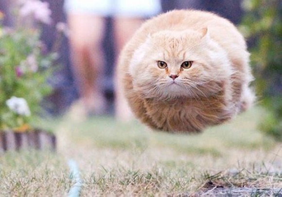 fat cat running