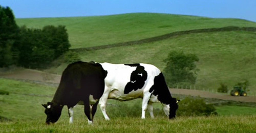 Puzzled Cows Optical Illusion