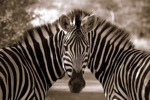 A Mirror or Two Zebras?