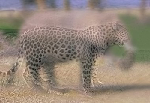 leopard-elephant-hybrid-illusion.jpg (500×343)