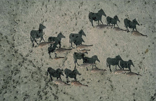National Geographics Shadow Zebras Illusion