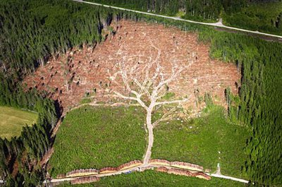Aerial Photographed Giant Oak Tree Illusion