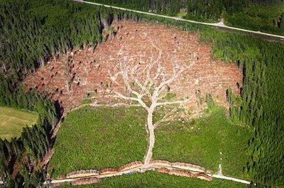 Aerial Photographed Giant Oak Tree Illusion