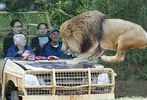 Why are they laughing? I would be terrified if some predator jumped on my vehicle!
