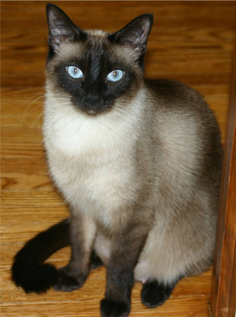 Niobe050905-Siamese_Cat
