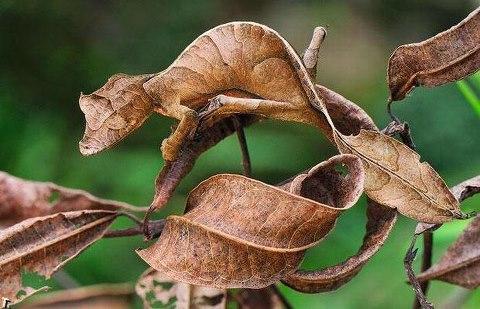Camouflaged Chameleon Optical Illusion