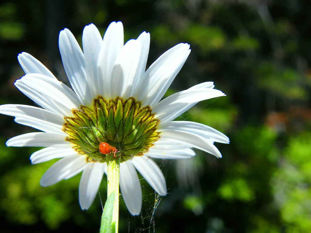 Daisy Flower Optical Illusion