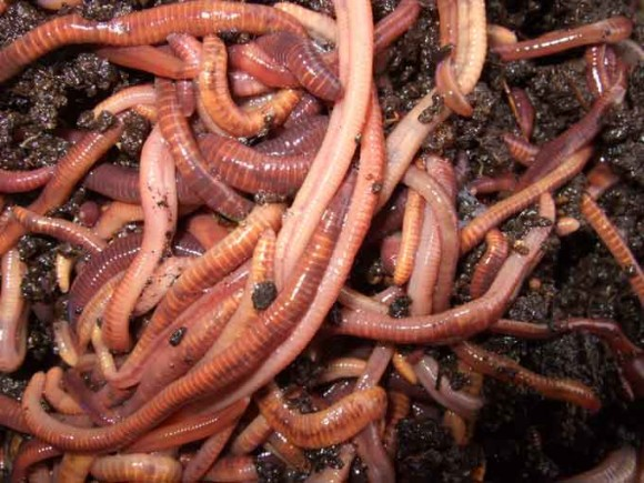 red-wriggler-worms