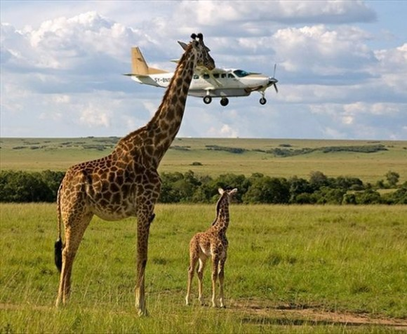 giraffe illusion perfectly timed photo