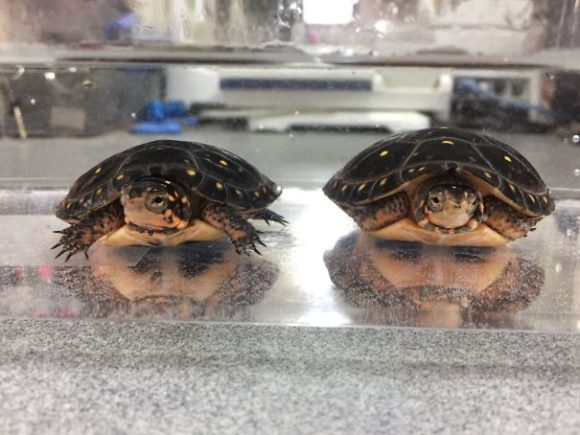 bearded turtle illusion